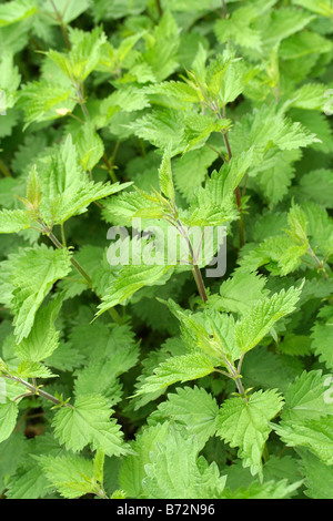 Nettle (Urtica dioica) Stock Photo