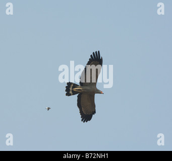 African Harrier Hawk mobbed by a smaller bird Polyboroides typus - Stock Photo