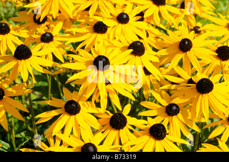 Rudbeckia Cone flower - Stock Photo