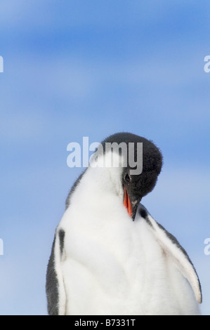 Gentoo Penguin (Pygoscelis papua) chick Dorian Bay Antarctica - Stock Photo