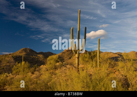Giant Cactus or Saguaro Carnegiea gigantea in the Saguaro National Park west Sonoran Desert Arizona - Stock Photo