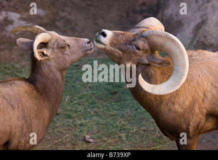 Male and female Desert Bighorn Sheep Ovis canadensis mexicana Arizona USA - Stock Photo