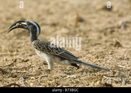African Grey Hornbill Tockus nasutus WILD - Stock Photo