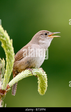 Singing House Wren - Vertical - Stock Photo