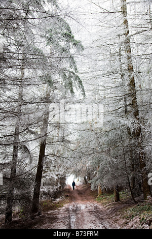 Woman walking on forestry track in winter with trees covered in frost Wales UK - Stock Photo