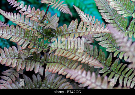 DRYOPTERIS ERYTHROSORA JAPANESE SHIELD FERN COPPER colour color evergreen - Stock Photo