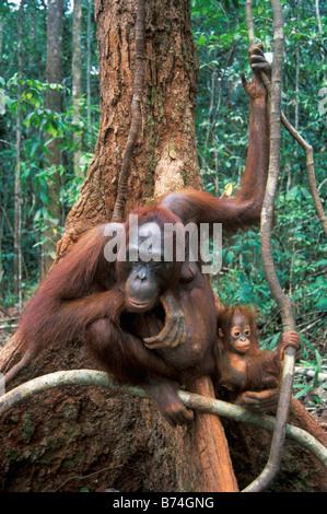 Mother with baby Orangutan,Gunung Leuser National Park,Indonesia - Stock Photo