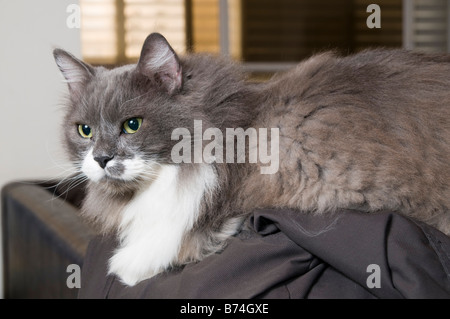 Grey and white Persian Cat with green eyes - Stock Photo
