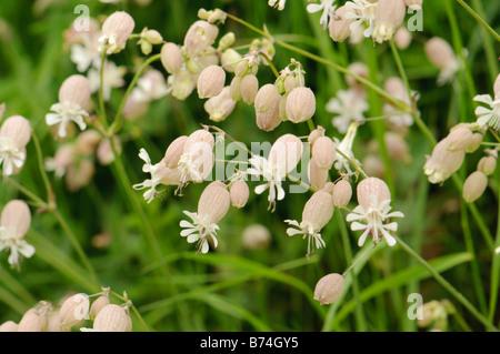 Bladder campion flowers (Silene vulgaris), Spain - Stock Photo