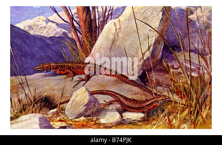Illustration of the Blue-throated Keeled Lizard - Stock Photo