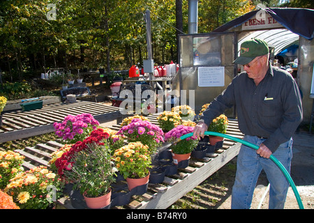 Man watering flowering chrysanthemum plants at a nursery in Conway New Hampshire USA - Stock Photo
