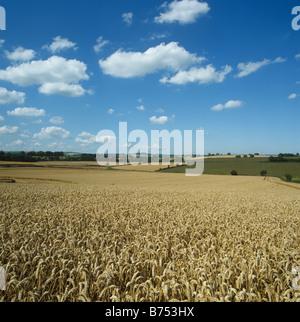Excellent golden ripe wheat crop on a fine summer s day Devon - Stock Photo