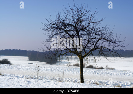 Winterly bare tree in snowy surroundings with a great blue sky - Stock Photo