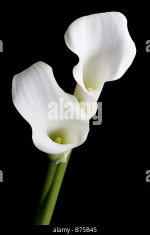 Two White Calla Lily Flowers - Stock Photo