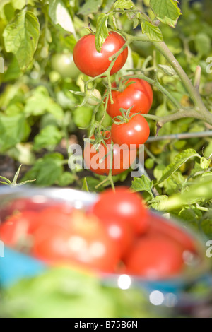 Fresh tomatoes in backyard garden, Winnipeg, Manitoba, Canada - Stock Photo