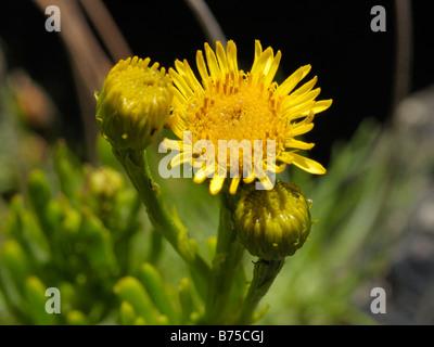 Golden samphire, inula crithmoides - Stock Photo