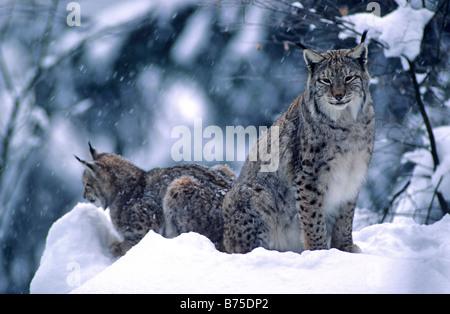 Europaeischer Luchs European Lynx in Winter Bavarian Forest Germany - Stock Photo