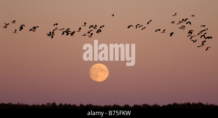 Northern Lapwing peewit plover flying at full moon Kiebitze vor dem Vollmond Vanellus vanellus - Stock Photo