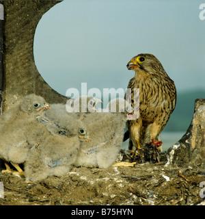 Common Kestrel nest chicks Falco tinnunculus raptor bird of prey aerie European Kestrel Eurasian Kestrel Old World - Stock Photo