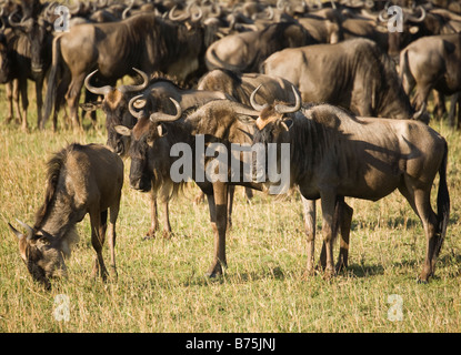 A Herd of Wildebeest grazing on the plains of the Masai Mara in Kenya - Stock Photo