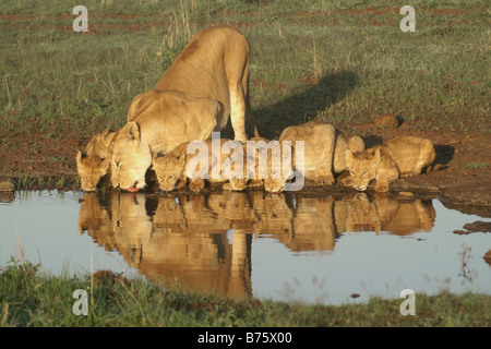Lioness and cubs drinking from pool, Masai Mara Game Reserve, Kenya - Stock Photo