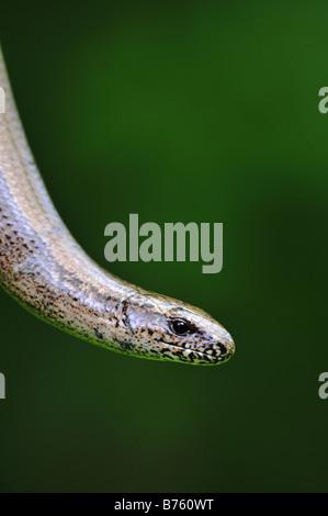 Slow worm - Anguis fragilis - against a dark background - Stock Photo