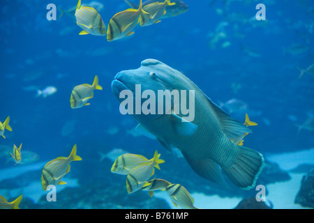 A Humphead Wrasse at the Georgia Aquarium in Atlanta Georgia - Stock Photo