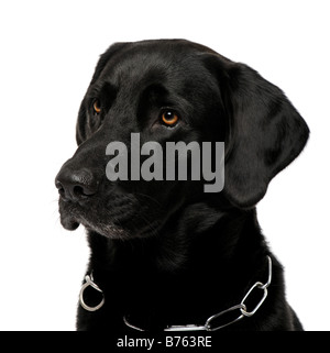 close up of a black Labrador in front of a white background - Stock Photo