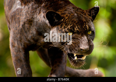 Panther or black jaguar Panthera onca - Stock Photo