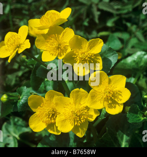 kingcup marsh marigold sumpfdotterblume caltha palustris - Stock Photo