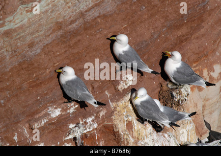 Dreizehenmoewe Rissa tridactyla Black legged Kittiwake Helgoland Schleswig Holstein Deutschland Germany - Stock Photo