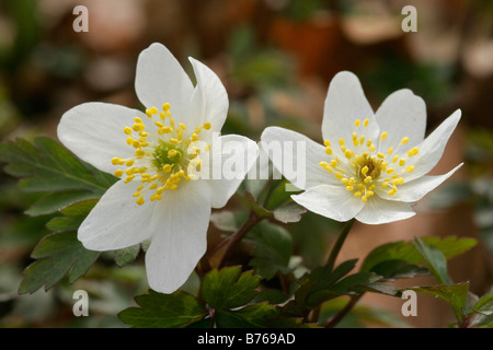anemone nemorosa early spring flowering wood anemone windflower thimbleweed smell fox - Stock Photo