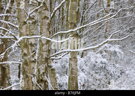 Birch trees and small conifers after snowfall Nofolk UK november - Stock Photo