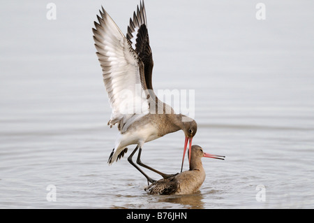 Black Tailed Godwits limosa limosa two birds fighting in water Norfolk Uk December - Stock Photo