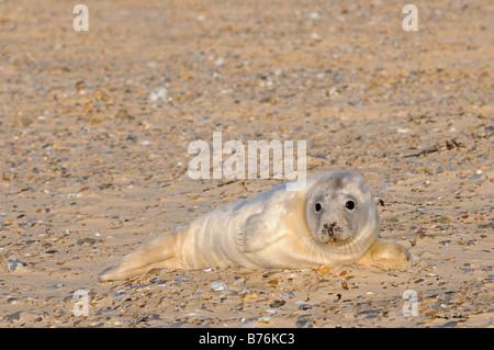 Grey Seal halichoerus grypus single pup in natal fur on beach Blakeney Point Norfolk UK December - Stock Photo