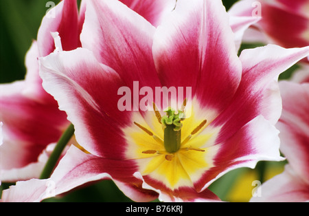Leliebloemige Tulipa Claudia photograhed at Keukenhof Gardens in Lisse The Netherlands - Stock Photo