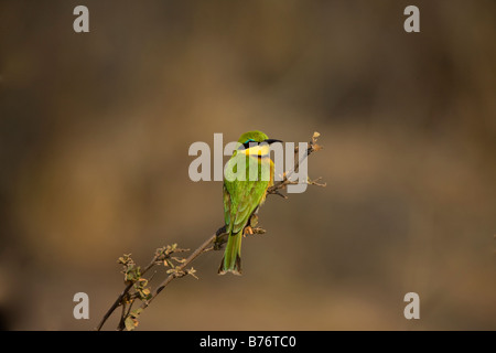 Little Bee-eater Perched on a Branch in the Mahenga Game Reserve, Namibia - Stock Photo