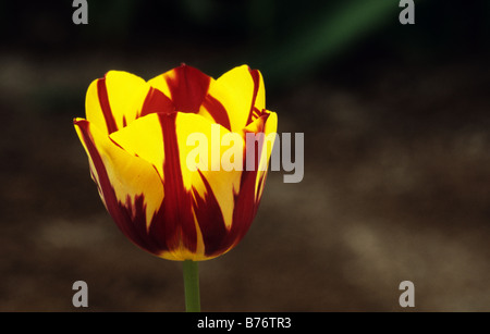 Triumph Tulipa Helmar photograhed at Keukenhof Gardens in Lisse The Netherlands - Stock Photo