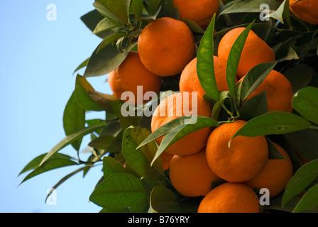 Orange tree in the city of Valencia Spain - Stock Photo