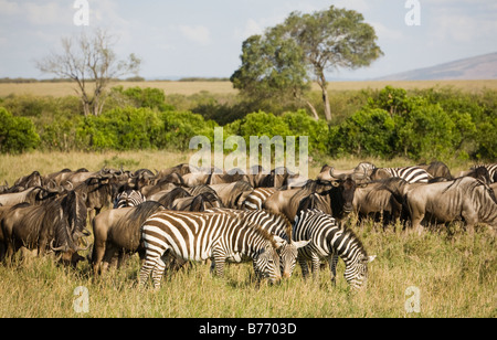 Zebra and Wildebeest grazing on the plains of the Masai Mara in Kenya - Stock Photo