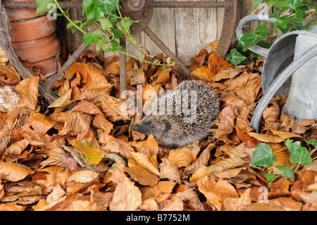 European Hedgehog erinaceus europaeus foraging amongst autumn leaves in a rustic garden setting Norfolk UK October - Stock Photo