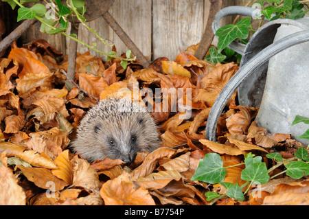 European Hedgehog erinaceus europaeus foraging amongst autumn leaves in a rustic garden setting Norfolk UK October - Stock Photo