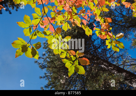 A DOGWOOD TREE turn red in the autumn on the floor of the YOSEMITE VALLEY YOSEMITE NATIONAL PARK CALIFORNIA - Stock Photo