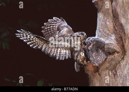 Eastern Screech Owl - Grey Phase - Stock Photo