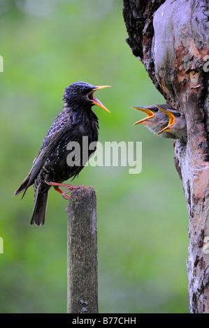 Young European Starlings (Sturnus vulgaris) and parent - Stock Photo