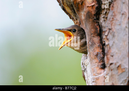 Young European Starlings (Sturnus vulgaris) - Stock Photo