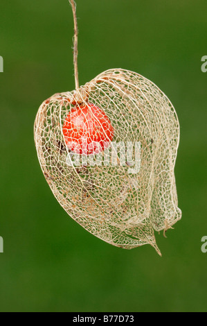 Japanese Lanterns, Chinese Lanterns (Physalis franchetii, Physalis alkekengi), fruit - Stock Photo