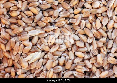 Common Wheat or Bread Wheat (Triticum aestivum) grains - Stock Photo