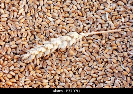 Common Wheat or Bread Wheat (Triticum aestivum), ear and grains - Stock Photo
