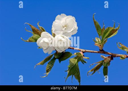 Wild Cherry or Sweet Cherry (Prunus avium), Plena form, blossoms - Stock Photo